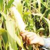 Adubação verde diminui o uso de defensivos agrícolas na cultura do milho