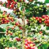 Cafezais paulistas aumentam sua produção em 29,6%, em 2018
