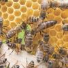 Governo paulista institui Programa Estadual de Sanidade das Abelhas