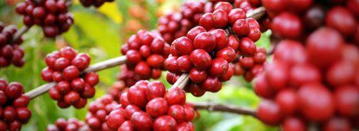 Cooxupé registra aumento na qualidade do café da safra 2020