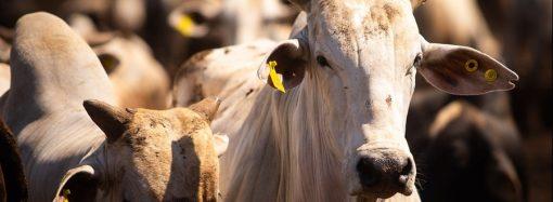 Brucelose: 96,85% das fêmeas bovídeas foram vacinadas em São Paulo