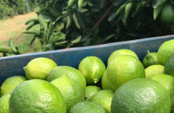 Agricultor produz mais de 80 mil pés de limão utilizando 100% de irrigação inteligente