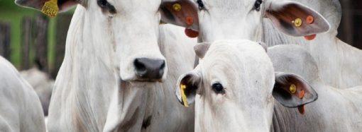 Encurtar o tempo de permanência dos bovinos da fazenda proporciona maior lucratividade