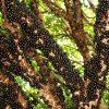 Casa Branca é uma das maiores produtoras de jabuticabas do Brasil