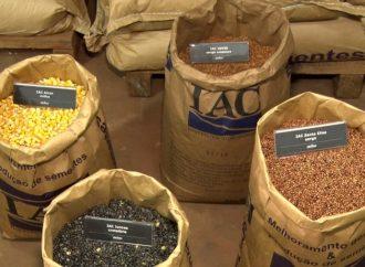 IAC produz cerca de 500 toneladas de sementes genéticas por ano