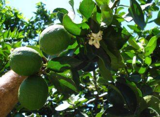 Produção de limão é símbolo de orgulho ao Estado de São Paulo