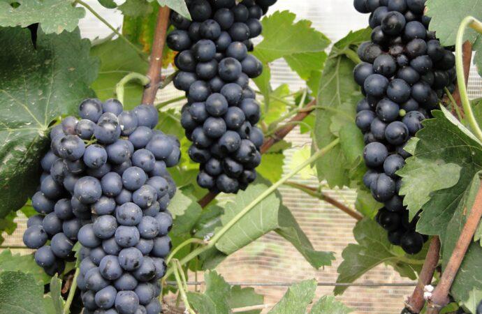 Epamig avalia adaptação de uvas Syrah em diferentes áreas da Região Sudeste